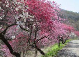武石余里の花桃